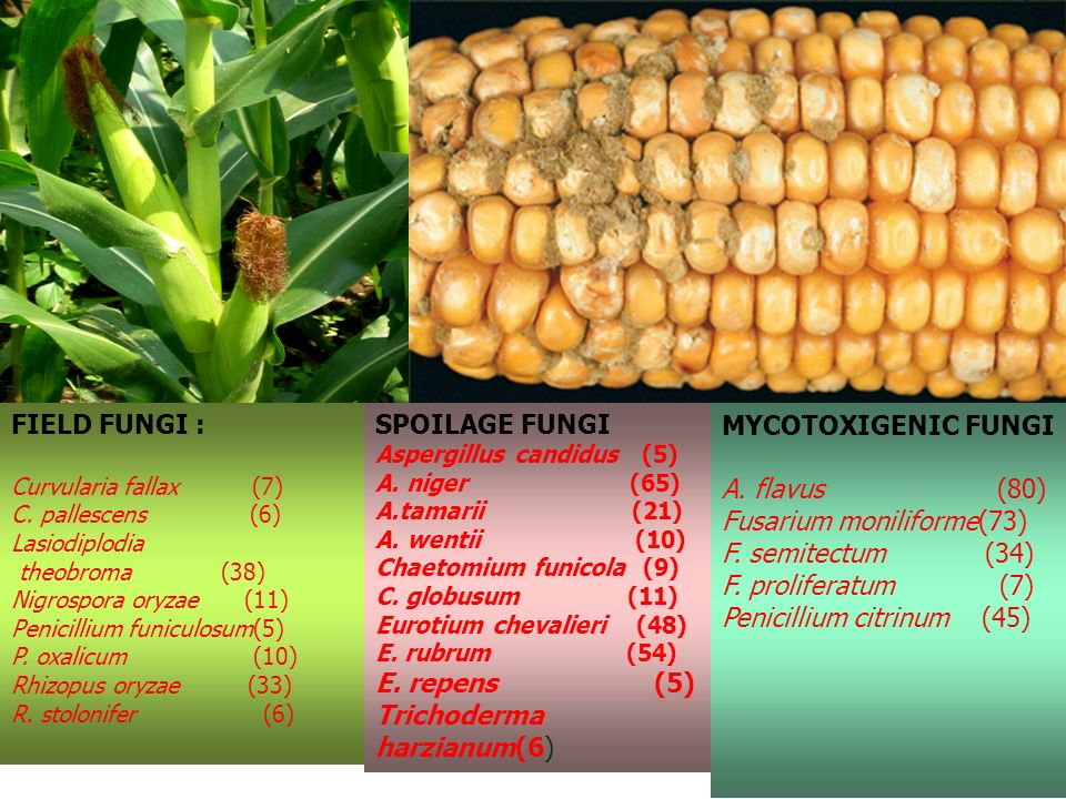 FIELD FUNGI : Curvularia fallax (7) C. pallescens (6) Lasiodiplodia theobroma (38) Nigrospora oryzae (11) Penicillium funiculosum(5) P. oxalicum (10)