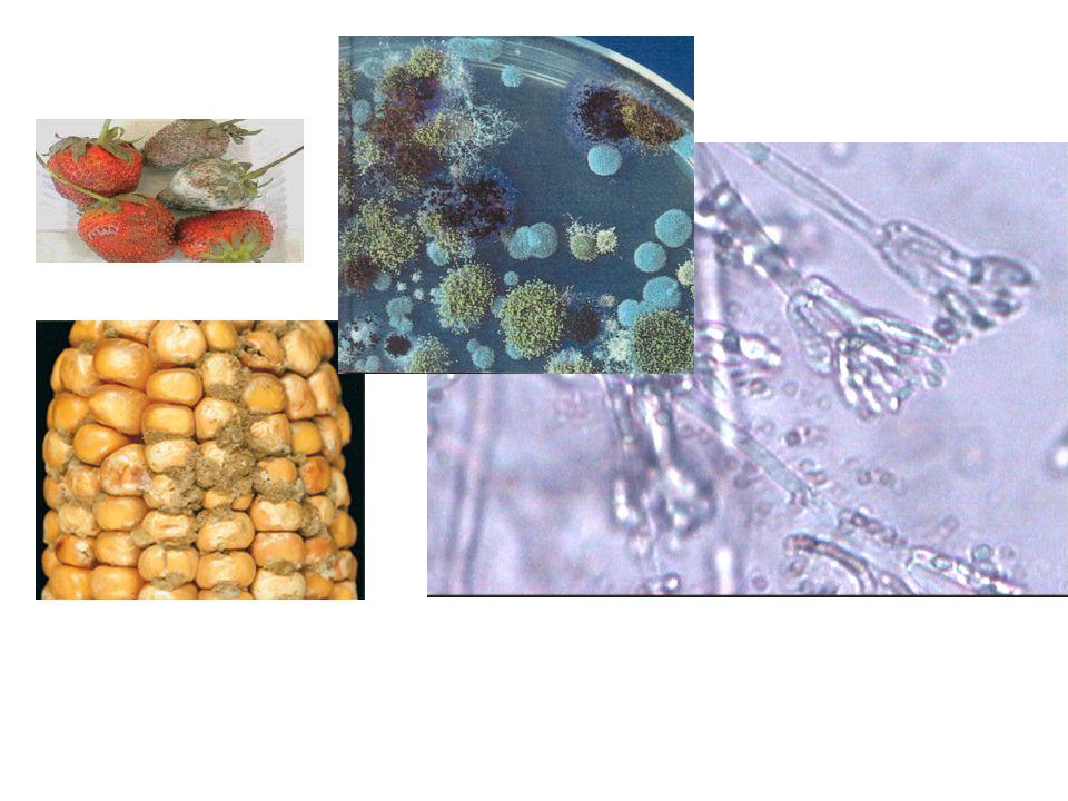 FIELD FUNGI Paecilomyces variotii (40) SPOILAGE FUNGI A.niger (60) A.tamarii (90) A.