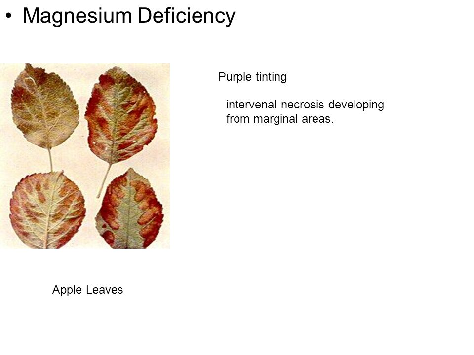 Magnesium Deficiency Apple Leaves Purple tinting intervenal necrosis developing from marginal areas.