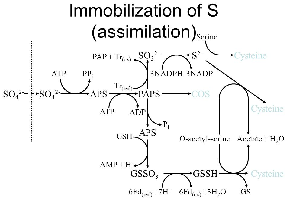 Immobilization of S (assimilation) SO 4 2- APSPAPS GSSO 3 - SO 3 2- S 2- Cysteine GSSHCysteine COS ATPPP i ATP ADP Tr (red) PAP + Tr (ox) 3NADPH 3NADP