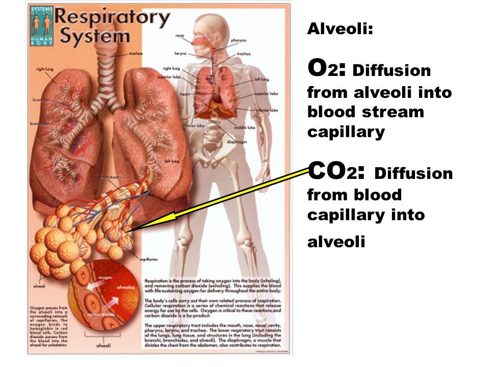 Alveoli: O 2 : Diffusion from alveoli into blood stream capillary CO 2 : Diffusion from blood capillary into alveoli