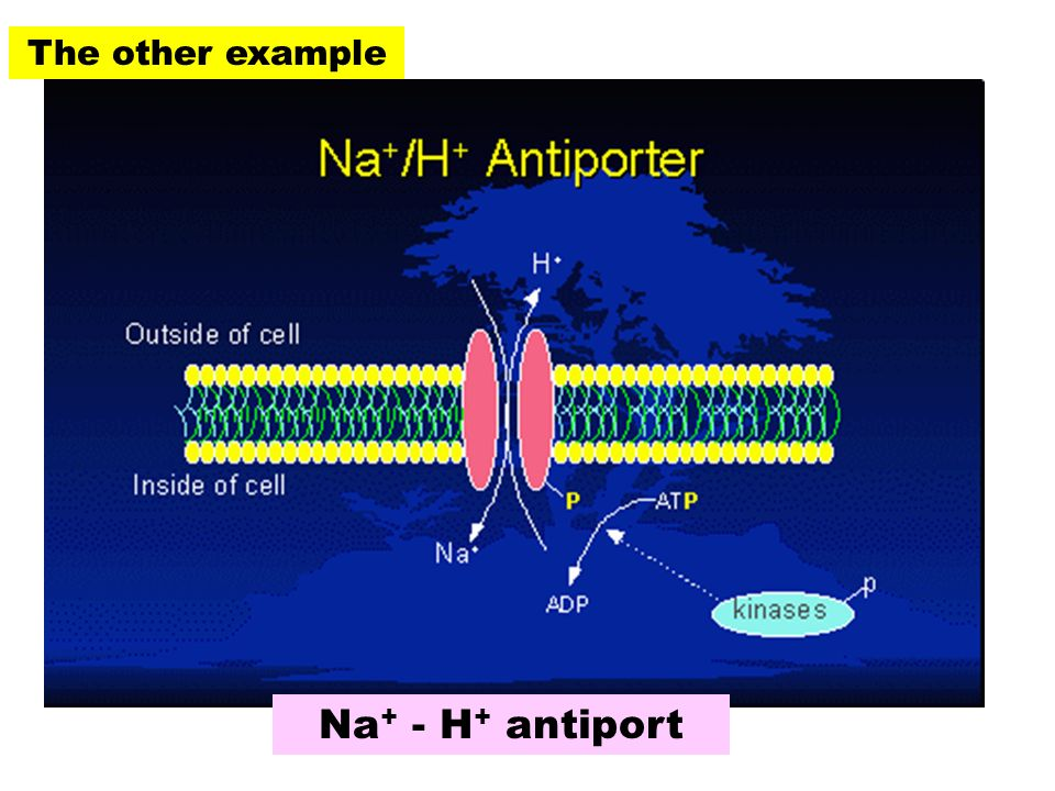 The other example Na + - H + antiport