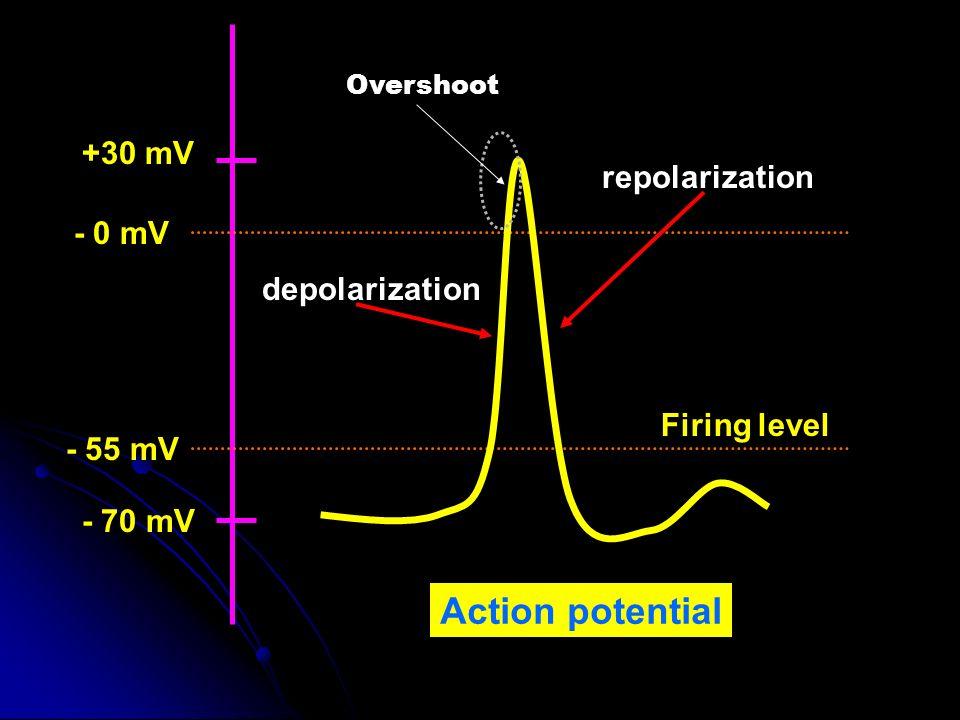 - 70 mV +30 mV - 55 mV - 0 mV Firing level depolarization repolarization Action potential Overshoot