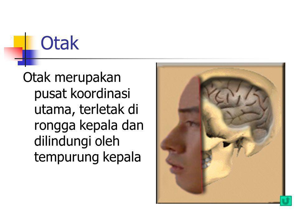 Otak Otak merupakan pusat koordinasi utama, terletak di rongga kepala dan dilindungi oleh tempurung kepala
