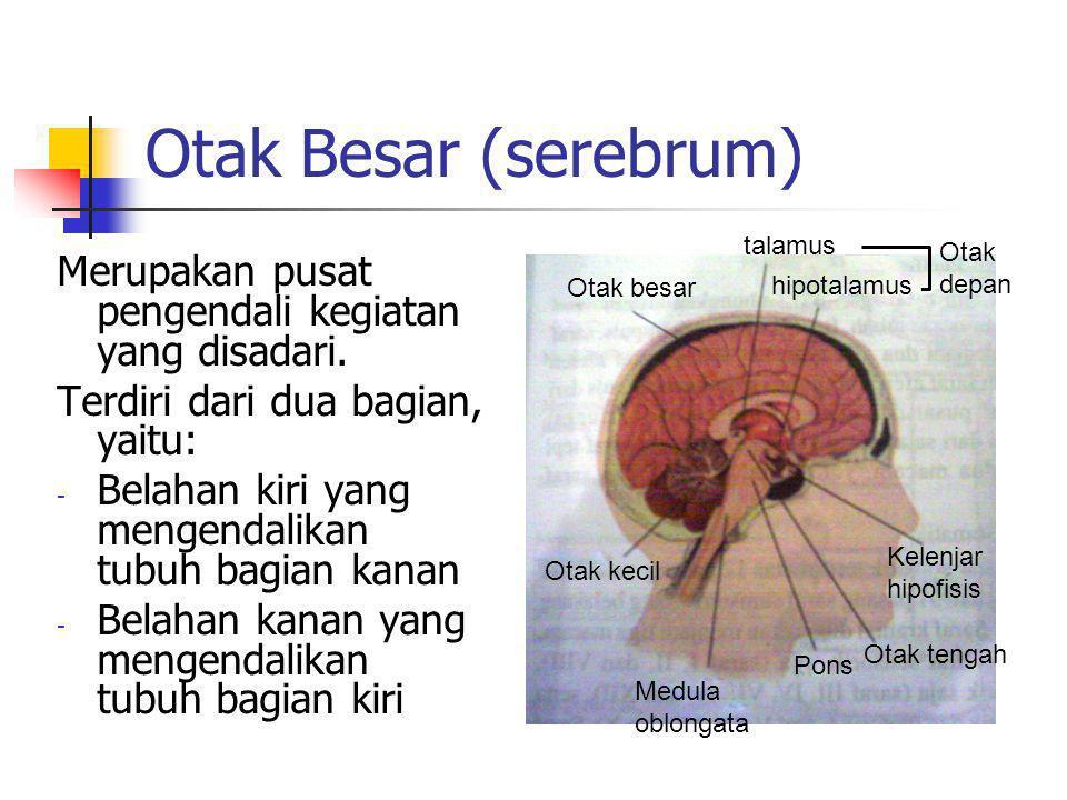 Otak Besar (serebrum) Merupakan pusat pengendali kegiatan yang disadari. Terdiri dari dua bagian, yaitu: - Belahan kiri yang mengendalikan tubuh bagia