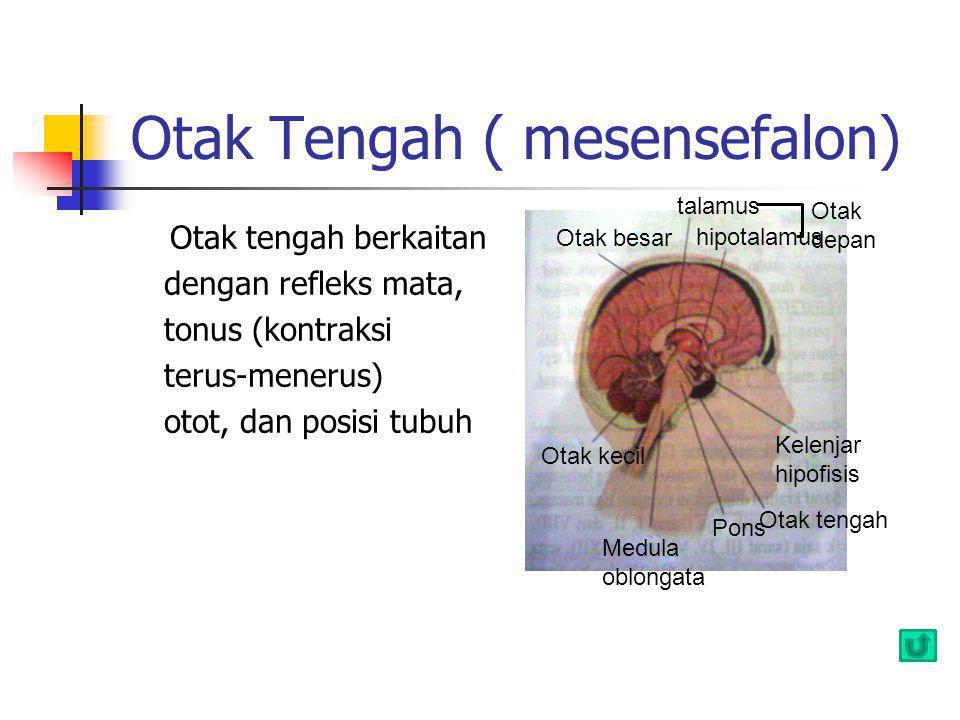 Otak Tengah ( mesensefalon) Otak tengah berkaitan dengan refleks mata, tonus (kontraksi terus-menerus) otot, dan posisi tubuh Otak besar talamus hipot