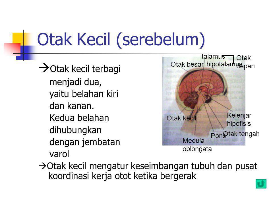 Otak Kecil (serebelum)  Otak kecil terbagi menjadi dua, yaitu belahan kiri dan kanan. Kedua belahan dihubungkan dengan jembatan varol  Otak kecil me