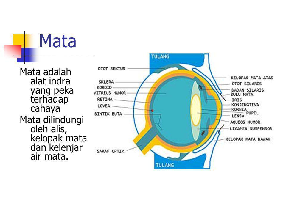 Mata Mata adalah alat indra yang peka terhadap cahaya Mata dilindungi oleh alis, kelopak mata dan kelenjar air mata.