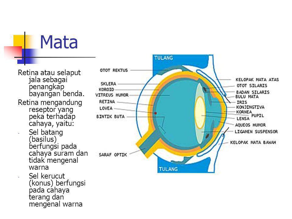 Mata Retina atau selaput jala sebagai penangkap bayangan benda. Retina mengandung reseptor yang peka terhadap cahaya, yaitu: - Sel batang (basilus) be