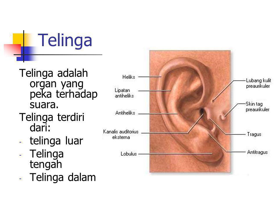 Telinga Telinga adalah organ yang peka terhadap suara. Telinga terdiri dari: - telinga luar - Telinga tengah - Telinga dalam