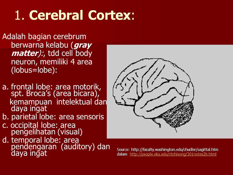 1. Cerebral Cortex: Adalah bagian cerebrum berwarna kelabu (gray matter):, tdd cell body neuron, memiliki 4 area (lobus=lobe): a. frontal lobe: area m