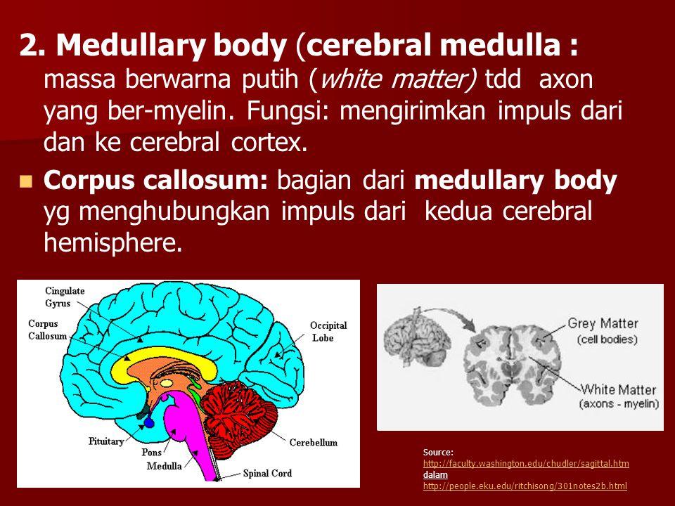 2. Medullary body (cerebral medulla : massa berwarna putih (white matter) tdd axon yang ber-myelin. Fungsi: mengirimkan impuls dari dan ke cerebral co