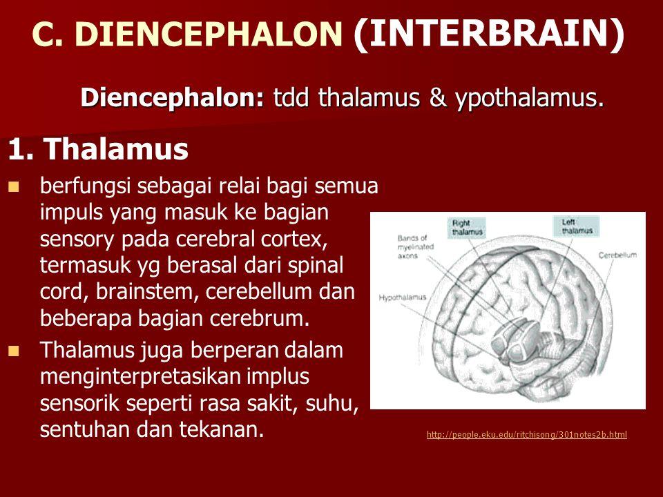C. DIENCEPHALON (INTERBRAIN) 1. Thalamus berfungsi sebagai relai bagi semua impuls yang masuk ke bagian sensory pada cerebral cortex, termasuk yg bera