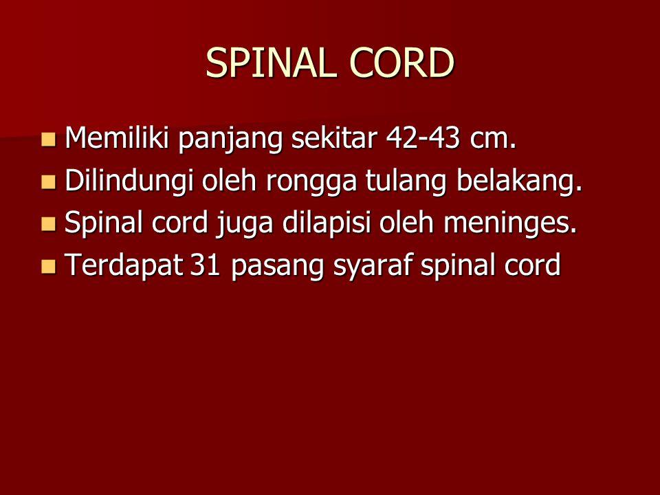 SPINAL CORD Memiliki panjang sekitar 42-43 cm. Memiliki panjang sekitar 42-43 cm. Dilindungi oleh rongga tulang belakang. Dilindungi oleh rongga tulan