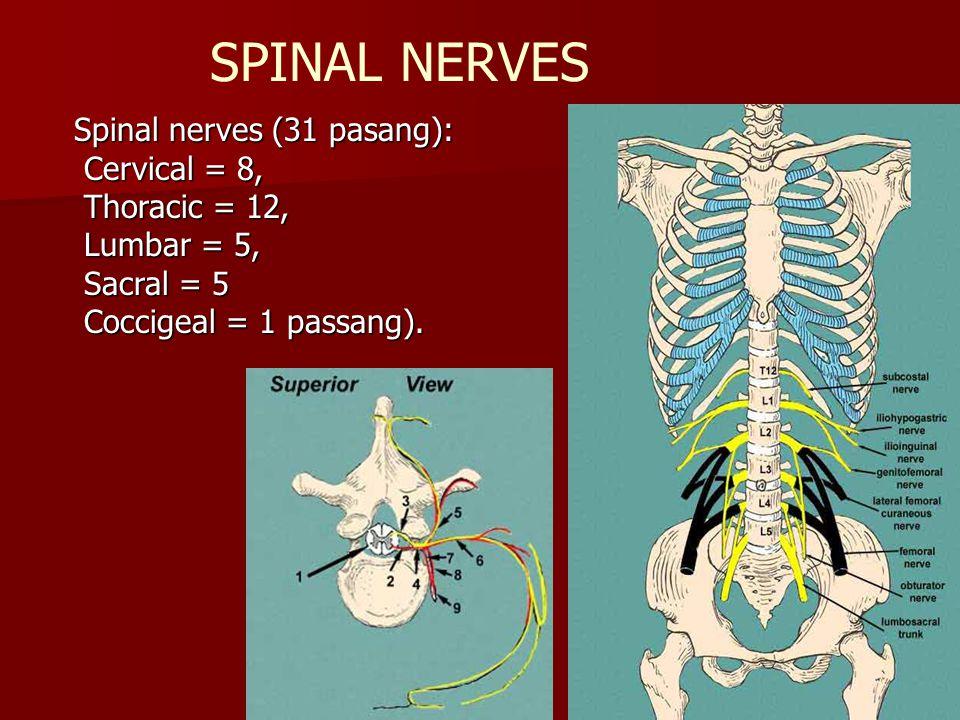 SPINAL NERVES Spinal nerves (31 pasang): Cervical = 8, Cervical = 8, Thoracic = 12, Thoracic = 12, Lumbar = 5, Lumbar = 5, Sacral = 5 Sacral = 5 Cocci