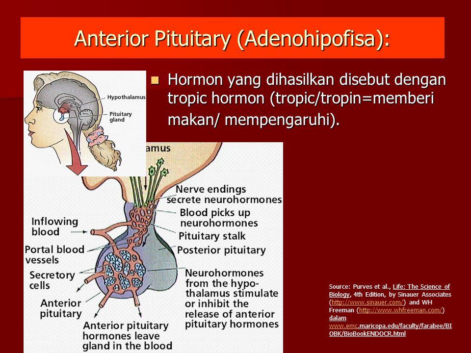 Anterior Pituitary (Adenohipofisa): Hormon yang dihasilkan disebut dengan tropic hormon (tropic/tropin=memberi makan/ mempengaruhi). Hormon yang dihas