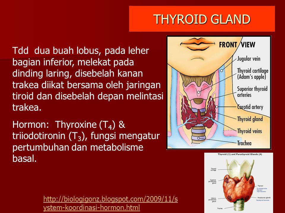 THYROID GLAND Tdd dua buah lobus, pada leher bagian inferior, melekat pada dinding laring, disebelah kanan trakea diikat bersama oleh jaringan tiroid
