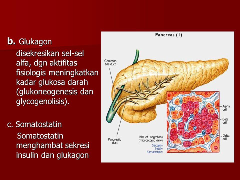 b. Glukagon disekresikan sel-sel alfa, dgn aktifitas fisiologis meningkatkan kadar glukosa darah (glukoneogenesis dan glycogenolisis). c. Somatostatin