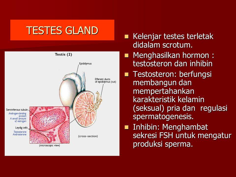 TESTES GLAND Kelenjar testes terletak didalam scrotum. Kelenjar testes terletak didalam scrotum. Menghasilkan hormon : testosteron dan inhibin Menghas