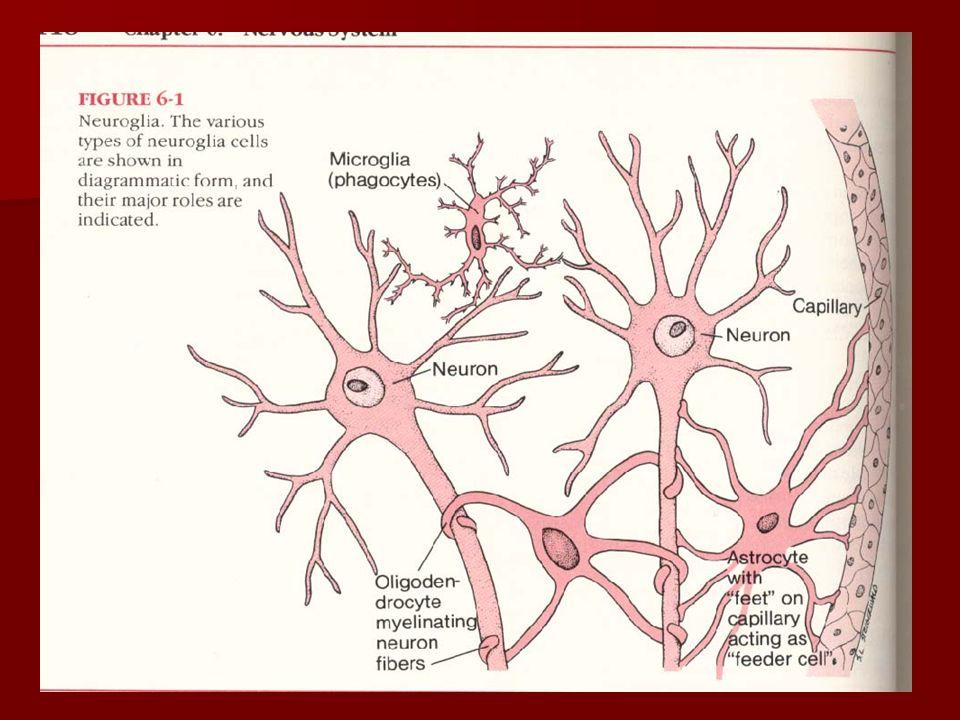 SISTEM SARAF PUSAT (Central Nervous System = CNS) Terdiri atas otak (Brain) dan sum-sum tulang belakang (Spinal Cord).