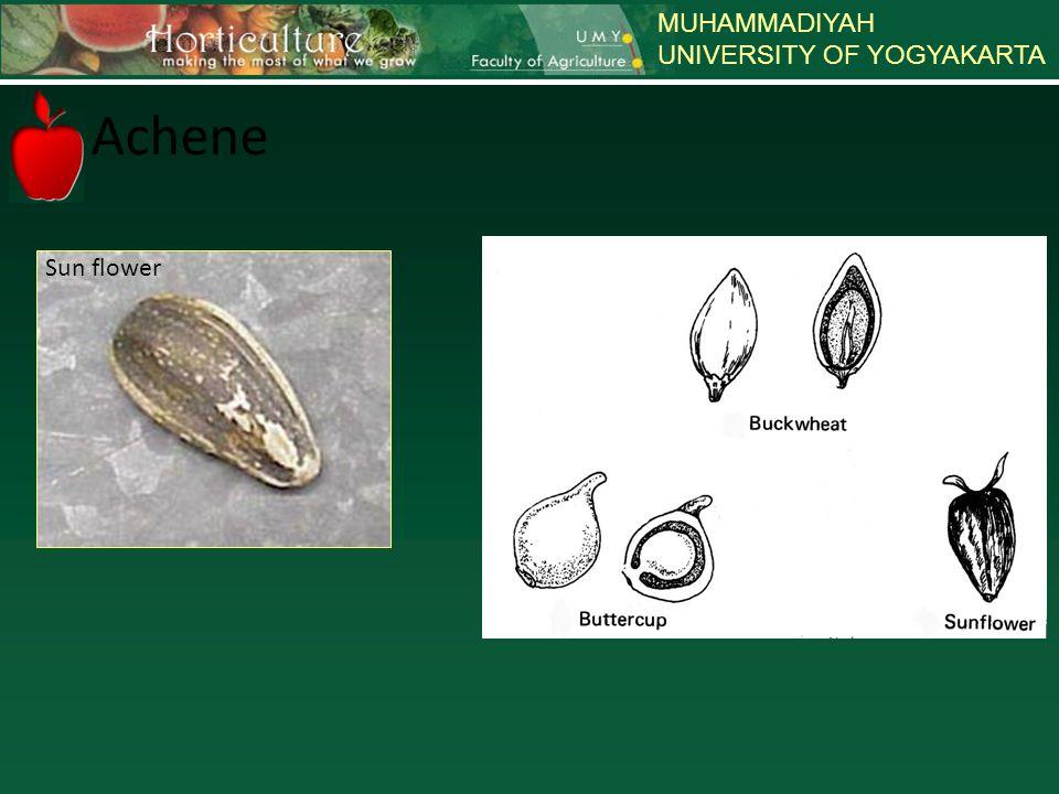 MUHAMMADIYAH UNIVERSITY OF YOGYAKARTA Achene Sun flower