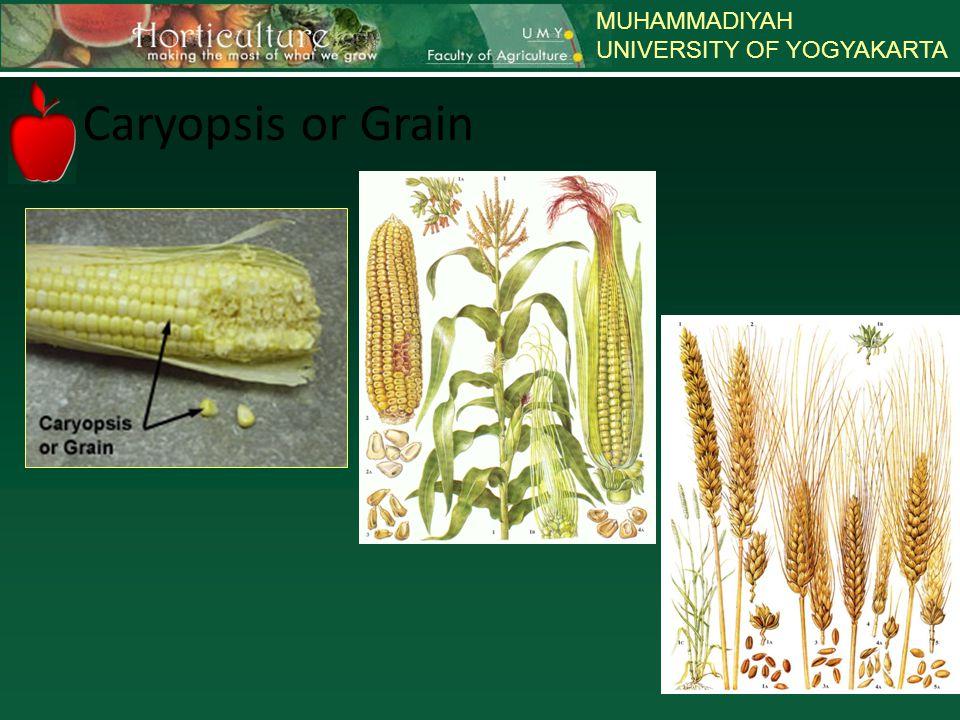 MUHAMMADIYAH UNIVERSITY OF YOGYAKARTA Caryopsis or Grain