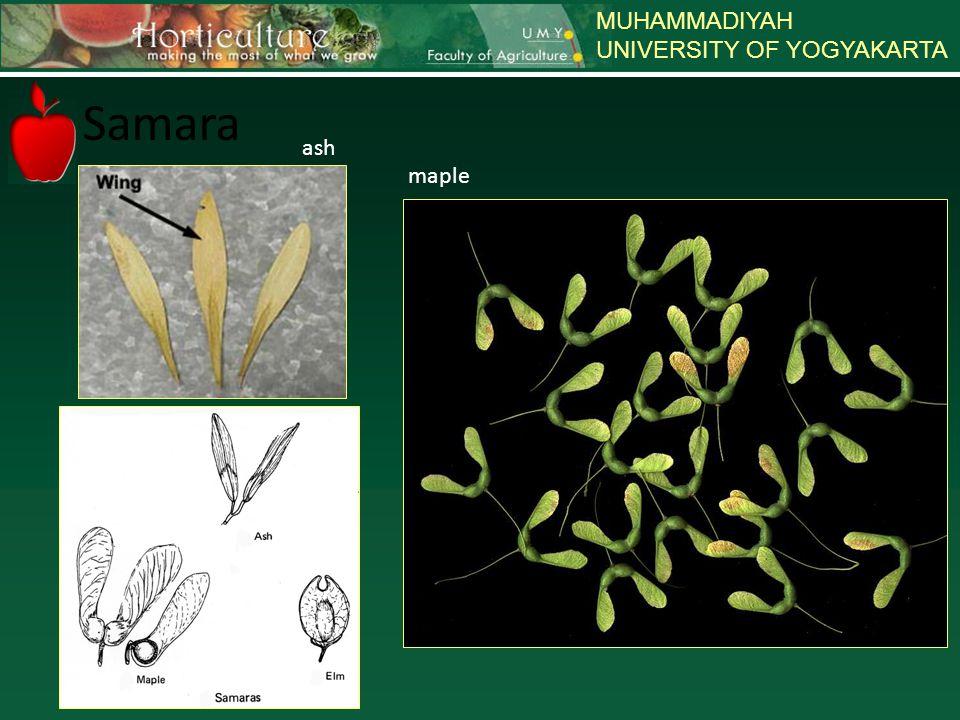 MUHAMMADIYAH UNIVERSITY OF YOGYAKARTA Samara maple ash