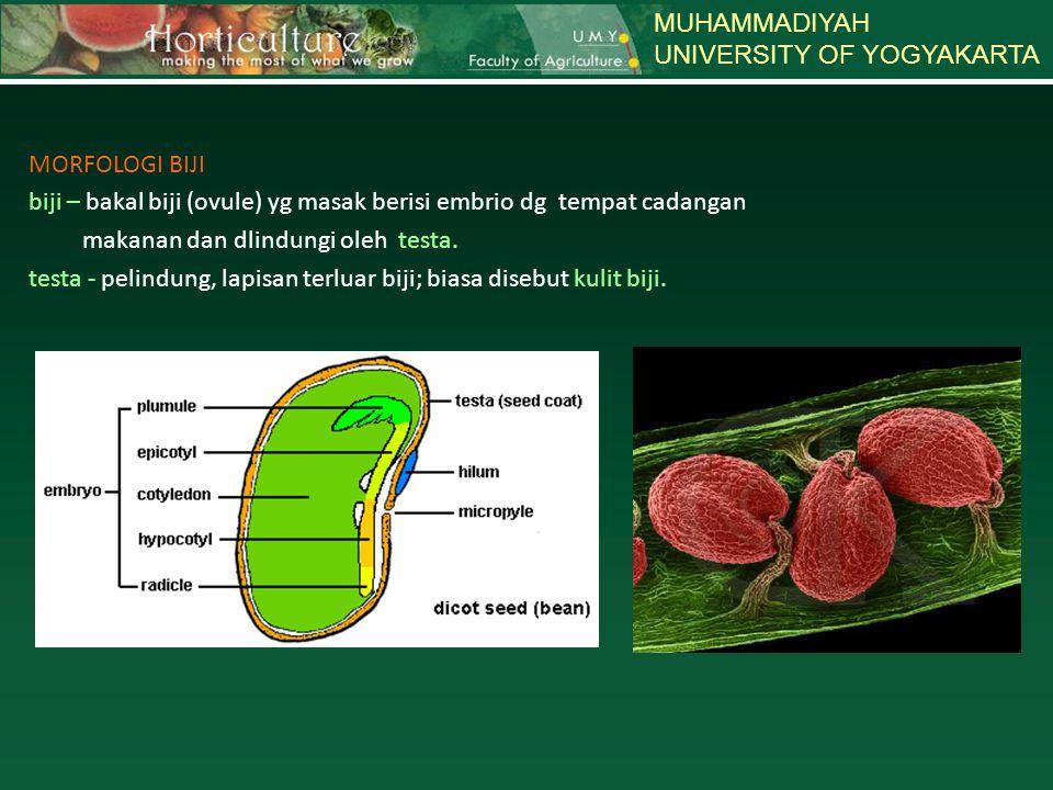 MUHAMMADIYAH UNIVERSITY OF YOGYAKARTA MORFOLOGI BIJI biji – bakal biji (ovule) yg masak berisi embrio dg tempat cadangan makanan dan dlindungi oleh te