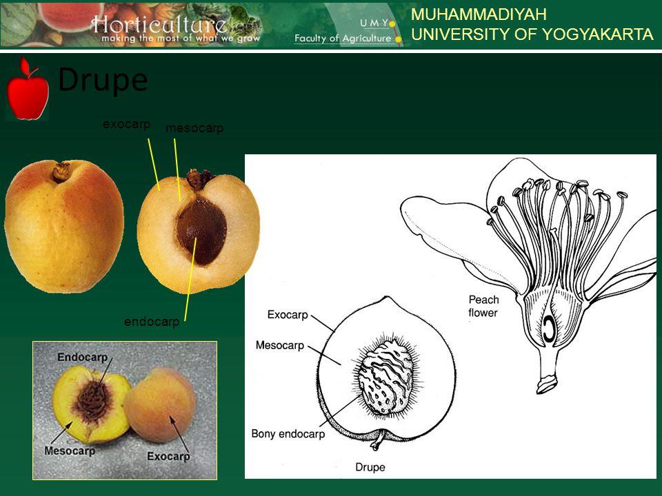 MUHAMMADIYAH UNIVERSITY OF YOGYAKARTA Drupe exocarp mesocarp endocarp
