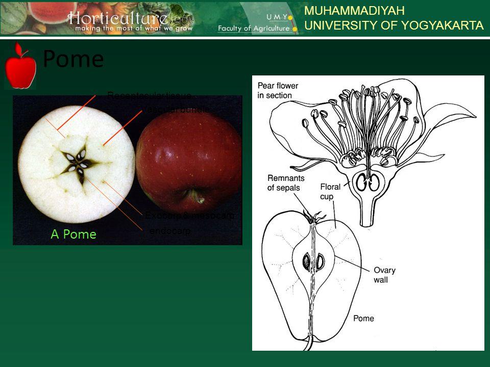 MUHAMMADIYAH UNIVERSITY OF YOGYAKARTA Klasifikasi Buah Berdasar jumlah bakal buah & jumlah bunga yg membentuk buah Buah tidak Berdaging (perikarp kering saat masak) Dehiscent – terpisah saat masak penuh : * Follicle : tersusun dari 1 daun buah dan terbelah pada 1 sisi mis : magnolia, sweet gum, milkweed * Legume : tersusun dari 1 daun buah dan terbelah pada 2 sisi * Capsule : tersusun dari bbrp daun buah dan membuka pada saat masak, terbelah pada 3 sisi atau lebih mis: okra