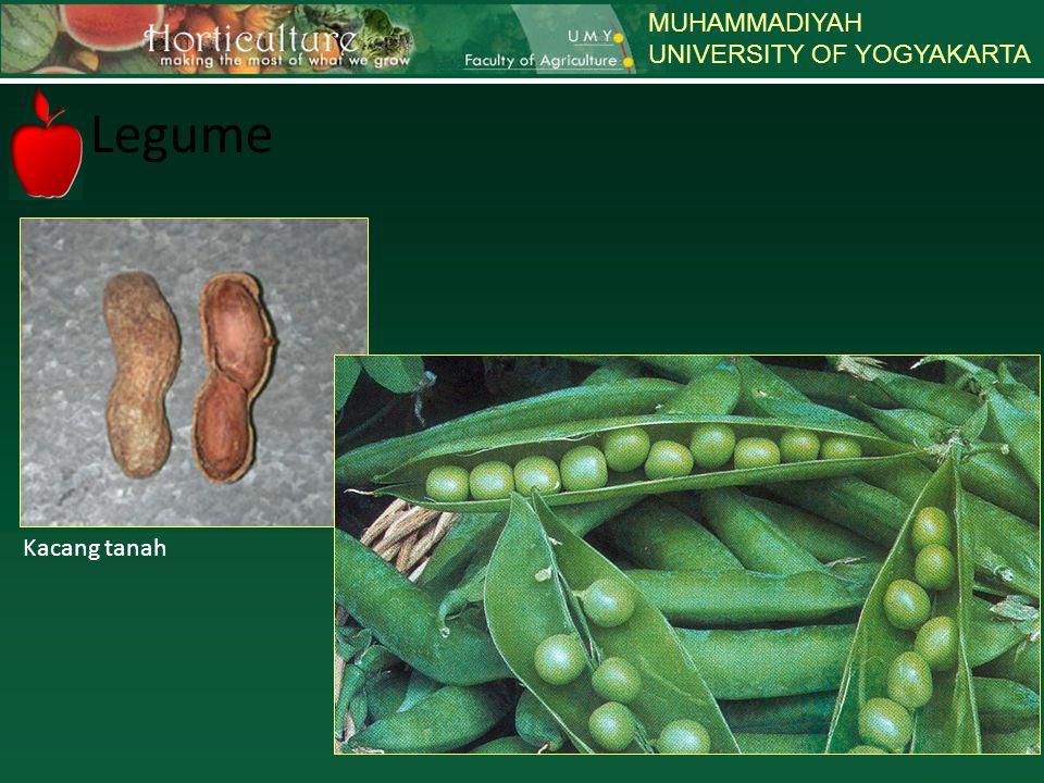 MUHAMMADIYAH UNIVERSITY OF YOGYAKARTA Legume Kacang tanah