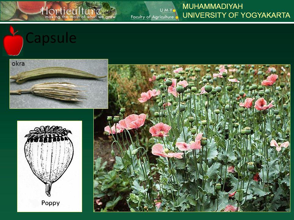 MUHAMMADIYAH UNIVERSITY OF YOGYAKARTA Indehiscent – perikarp kering saat masak, tetapi tdk terpisah/membuka * Achene : buah berbiji tunggal, dg biji menempel pada satu titik dalam buah & bebas dari perikarp mis: bunga matahari * Caryopsis atau grain : buah berbiji tunggal, biji menyatu dengan perikarp mis : jagung, gandum.