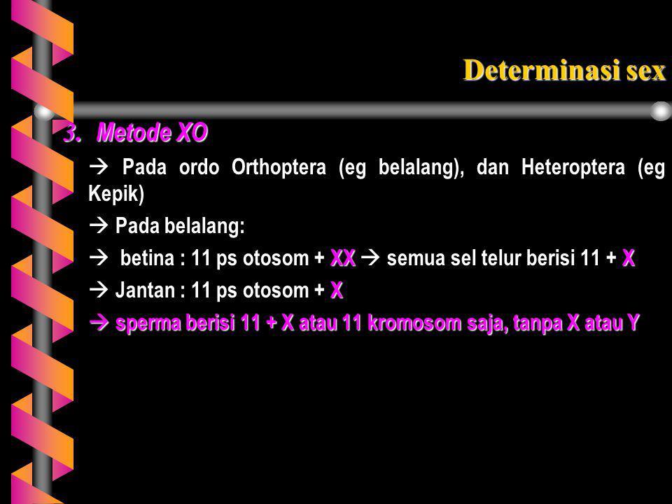3. Metode XO  Pada ordo Orthoptera (eg belalang), dan Heteroptera (eg Kepik)  Pada belalang:  betina : 11 ps otosom + XX  semua sel telur berisi 1