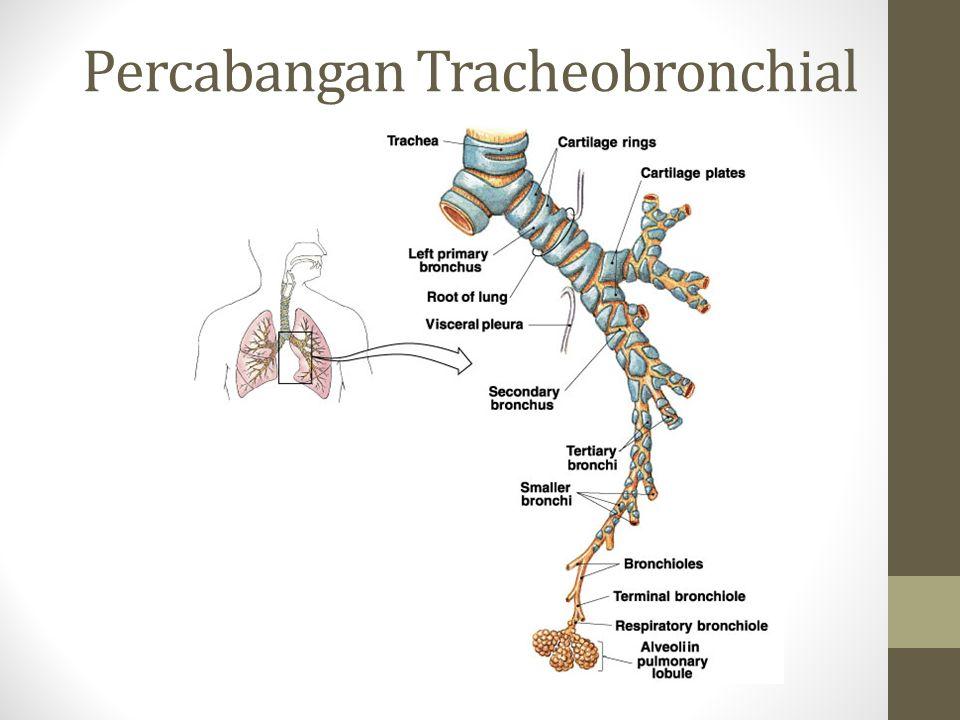 Percabangan Tracheobronchial