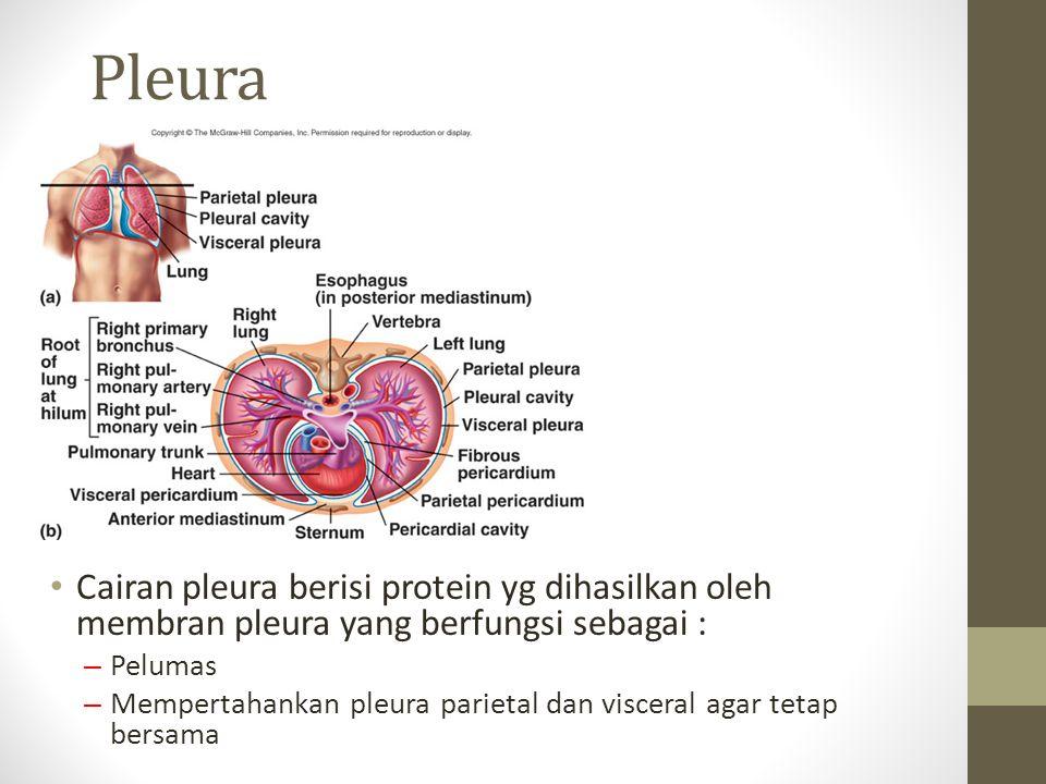 Pleura Cairan pleura berisi protein yg dihasilkan oleh membran pleura yang berfungsi sebagai : – Pelumas – Mempertahankan pleura parietal dan visceral agar tetap bersama