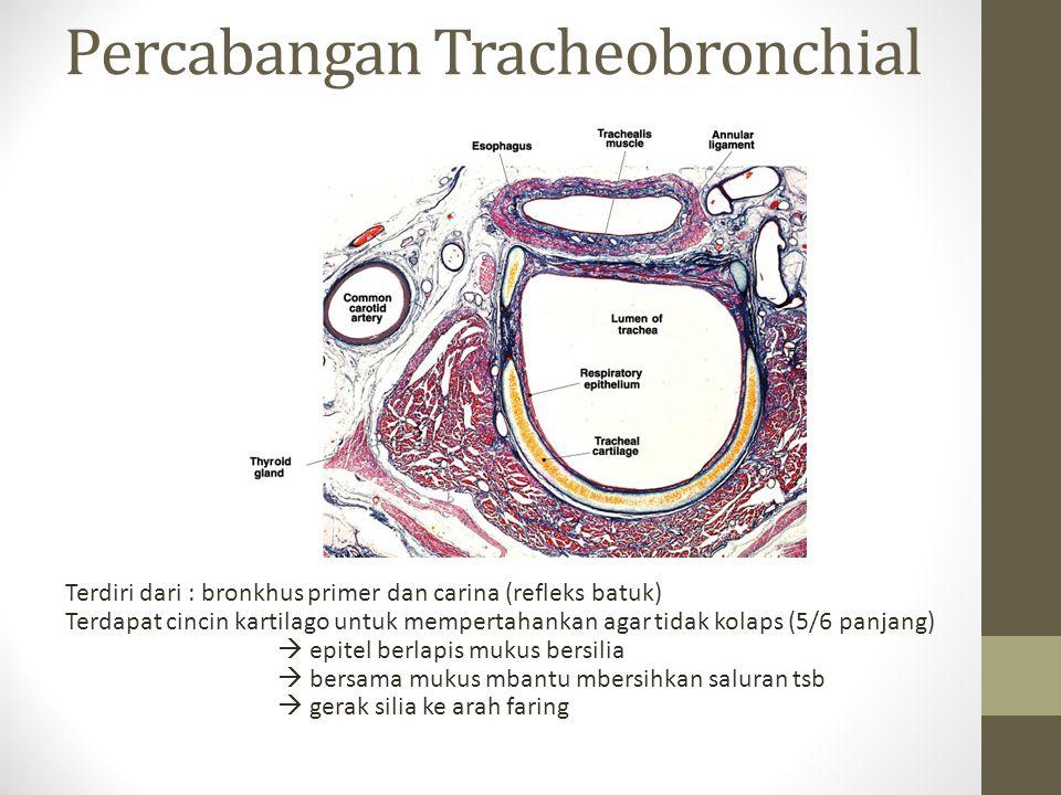 Percabangan Tracheobronchial Terdiri dari : bronkhus primer dan carina (refleks batuk) Terdapat cincin kartilago untuk mempertahankan agar tidak kolaps (5/6 panjang)  epitel berlapis mukus bersilia  bersama mukus mbantu mbersihkan saluran tsb  gerak silia ke arah faring