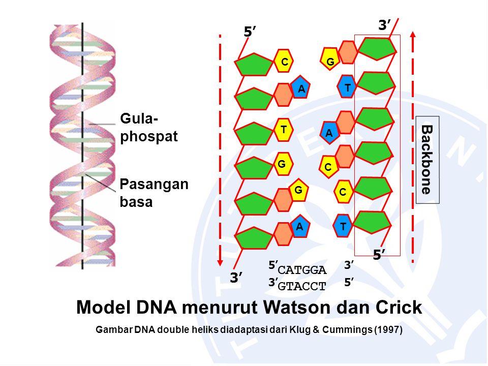 A T T A C 3' 5' T G G A 3' 5' Backbone C C G CATGGA GTACCT 5'3' 5' Pasangan basa Gula- phospat Model DNA menurut Watson dan Crick Gambar DNA double he