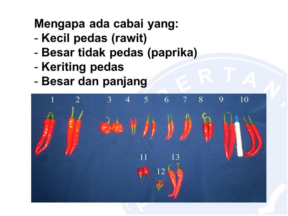 Mengapa ada cabai yang: - Kecil pedas (rawit) - Besar tidak pedas (paprika) - Keriting pedas - Besar dan panjang