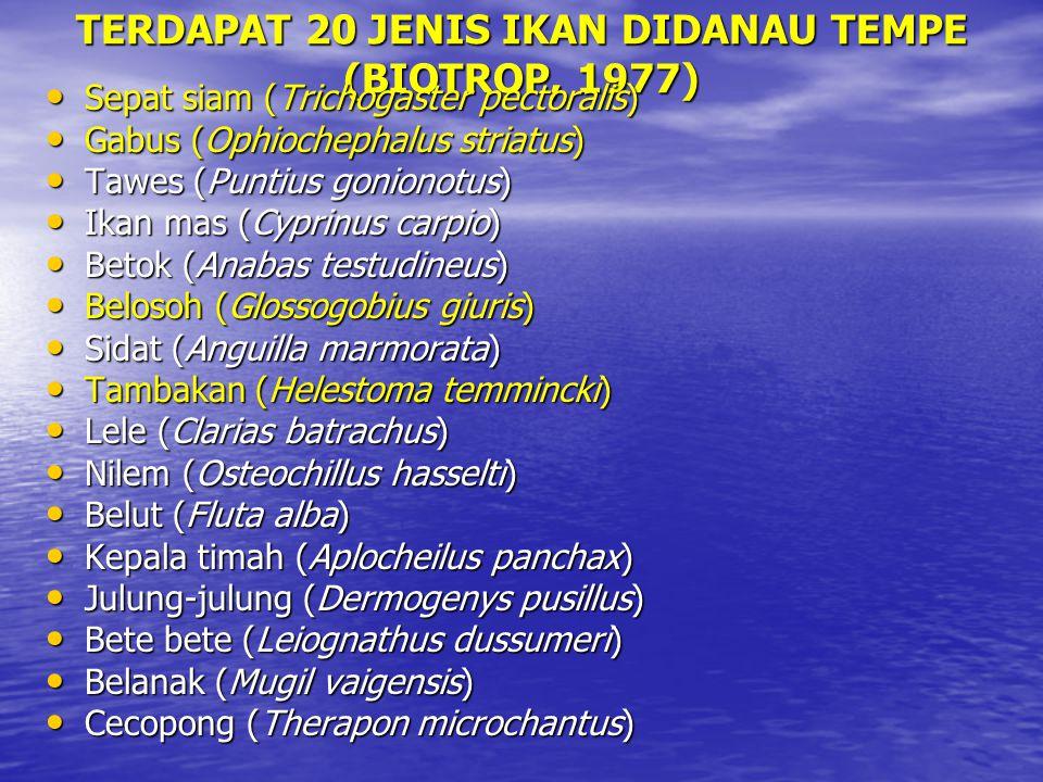 TERDAPAT 20 JENIS IKAN DIDANAU TEMPE (BIOTROP, 1977) Sepat siam (Trichogaster pectoralis) Sepat siam (Trichogaster pectoralis) Gabus (Ophiochephalus striatus) Gabus (Ophiochephalus striatus) Tawes (Puntius gonionotus) Tawes (Puntius gonionotus) Ikan mas (Cyprinus carpio) Ikan mas (Cyprinus carpio) Betok (Anabas testudineus) Betok (Anabas testudineus) Belosoh (Glossogobius giuris) Belosoh (Glossogobius giuris) Sidat (Anguilla marmorata) Sidat (Anguilla marmorata) Tambakan (Helestoma temmincki) Tambakan (Helestoma temmincki) Lele (Clarias batrachus) Lele (Clarias batrachus) Nilem (Osteochillus hasselti) Nilem (Osteochillus hasselti) Belut (Fluta alba) Belut (Fluta alba) Kepala timah (Aplocheilus panchax) Kepala timah (Aplocheilus panchax) Julung-julung (Dermogenys pusillus) Julung-julung (Dermogenys pusillus) Bete bete (Leiognathus dussumeri) Bete bete (Leiognathus dussumeri) Belanak (Mugil vaigensis) Belanak (Mugil vaigensis) Cecopong (Therapon microchantus) Cecopong (Therapon microchantus)