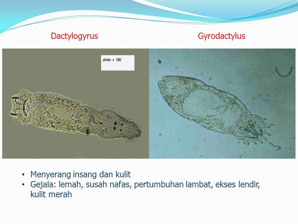 Trichodina (Trichodina sp./Trichodinella sp.) Trichodina sp. (tubuh dan sirip) Trichodinella sp. (insang) Gejala: lemah, kusam, menggosok-gosokkan tub