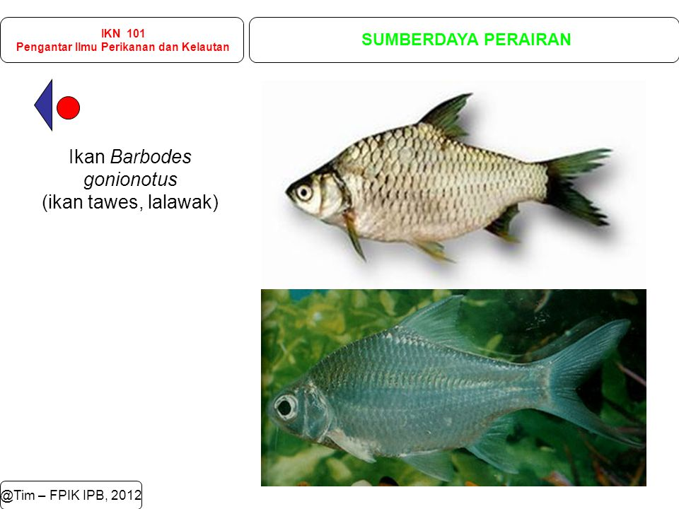 @Tim – FPIK IPB, 2012 IKN 101 Pengantar Ilmu Perikanan dan Kelautan SUMBERDAYA PERAIRAN Ikan Barbodes gonionotus (ikan tawes, lalawak)