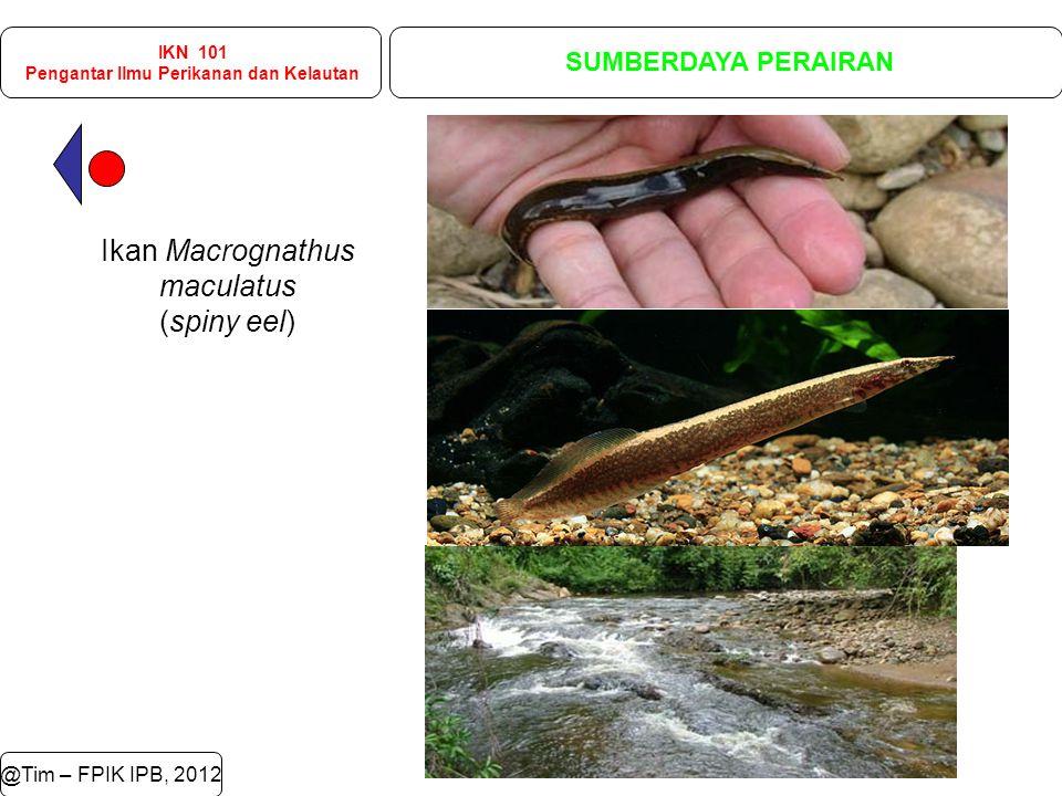 @Tim – FPIK IPB, 2012 IKN 101 Pengantar Ilmu Perikanan dan Kelautan SUMBERDAYA PERAIRAN Ikan Macrognathus maculatus (spiny eel)