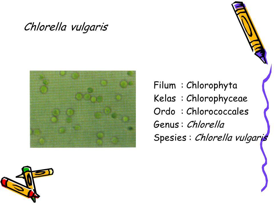 Chlorella vulgaris Filum: Chlorophyta Kelas: Chlorophyceae Ordo: Chlorococcales Genus: Chlorella Spesies : Chlorella vulgaris