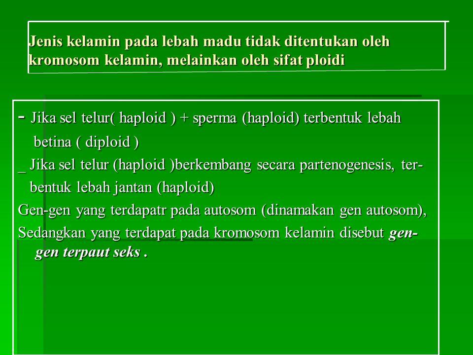 Jenis kelamin pada lebah madu tidak ditentukan oleh kromosom kelamin, melainkan oleh sifat ploidi - Jika sel telur( haploid ) + sperma (haploid) terbentuk lebah betina ( diploid ) betina ( diploid ) _ Jika sel telur (haploid )berkembang secara partenogenesis, ter- bentuk lebah jantan (haploid) bentuk lebah jantan (haploid) Gen-gen yang terdapatr pada autosom (dinamakan gen autosom), Sedangkan yang terdapat pada kromosom kelamin disebut gen- gen terpaut seks.