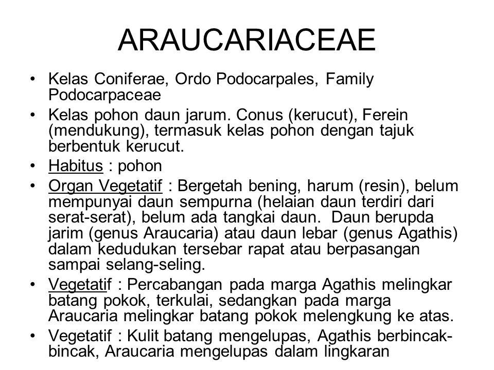 ARAUCARIACEAE Kelas Coniferae, Ordo Podocarpales, Family Podocarpaceae Kelas pohon daun jarum. Conus (kerucut), Ferein (mendukung), termasuk kelas poh