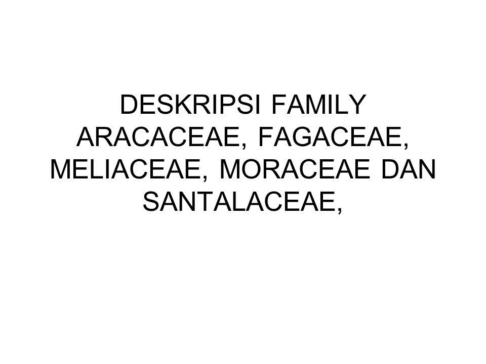 DESKRIPSI FAMILY ARACACEAE, FAGACEAE, MELIACEAE, MORACEAE DAN SANTALACEAE,
