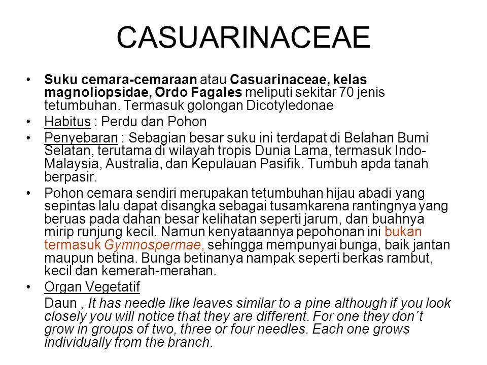 CASUARINACEAE Suku cemara-cemaraan atau Casuarinaceae, kelas magnoliopsidae, Ordo Fagales meliputi sekitar 70 jenis tetumbuhan. Termasuk golongan Dico