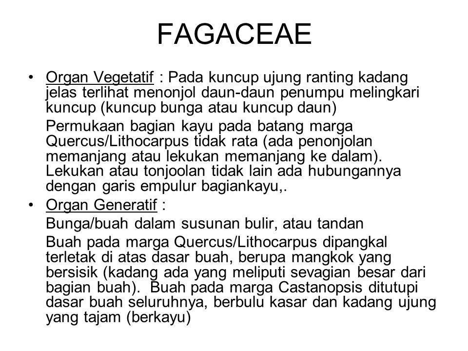 FAGACEAE Organ Vegetatif : Pada kuncup ujung ranting kadang jelas terlihat menonjol daun-daun penumpu melingkari kuncup (kuncup bunga atau kuncup daun