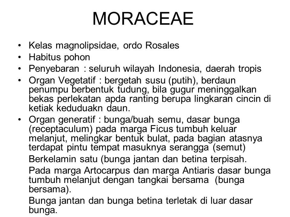 MORACEAE Kelas magnolipsidae, ordo Rosales Habitus pohon Penyebaran : seluruh wilayah Indonesia, daerah tropis Organ Vegetatif : bergetah susu (putih)