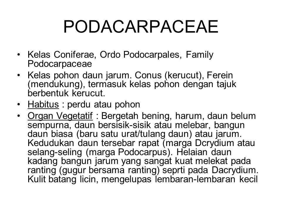 PODACARPACEAE Kelas Coniferae, Ordo Podocarpales, Family Podocarpaceae Kelas pohon daun jarum. Conus (kerucut), Ferein (mendukung), termasuk kelas poh